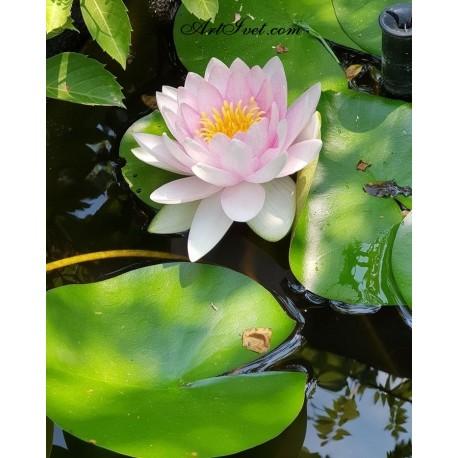 Рисуване по Номера (пълен комплект) - Водната лилия - символ на спокойствие